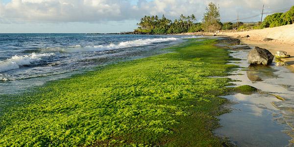 how to draw ocean algae