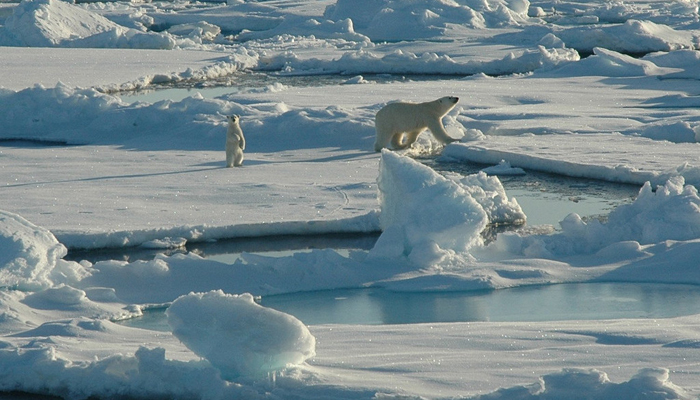 Haeckel Lichenes furthermore Paul Nicklen Polar Bear X moreover Banquise together with Arctic Fox further Ch Region I. on arctic ecosystem