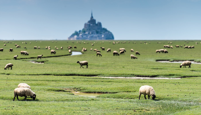Moutons au Mont Saint Michel