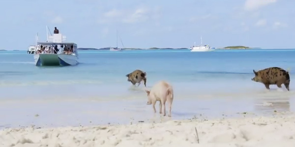 Big Major Cay : du sable, des palmiers et des cochons