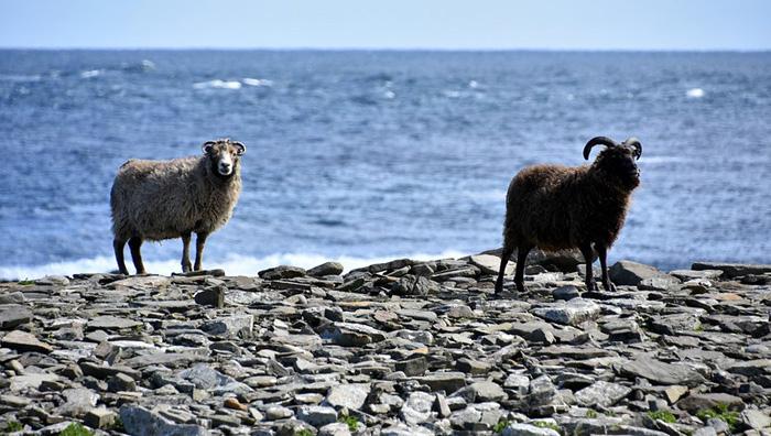 mouton Ecosse