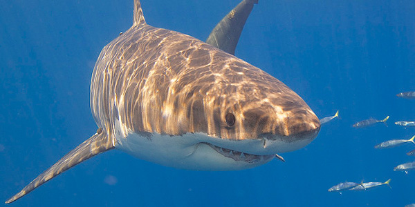 Le requin peut stresser au point de... vomir !